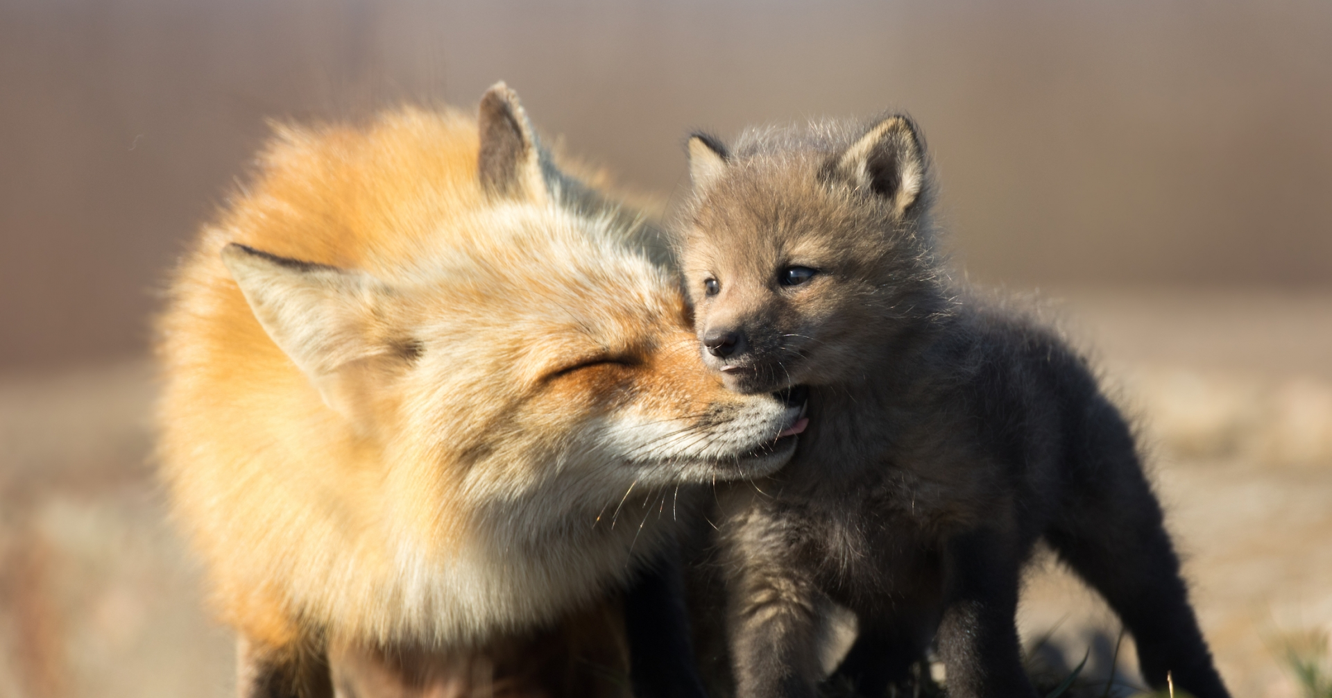 mother and baby fox nuzzle